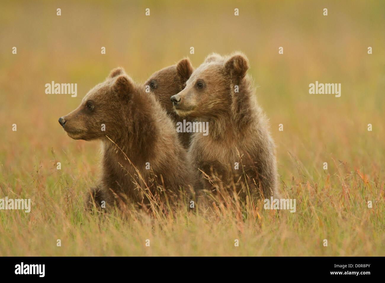 Triplett Brown oder Grizzly Bear Cubs, Lake-Clark-Nationalpark, Alaska. Stockbild