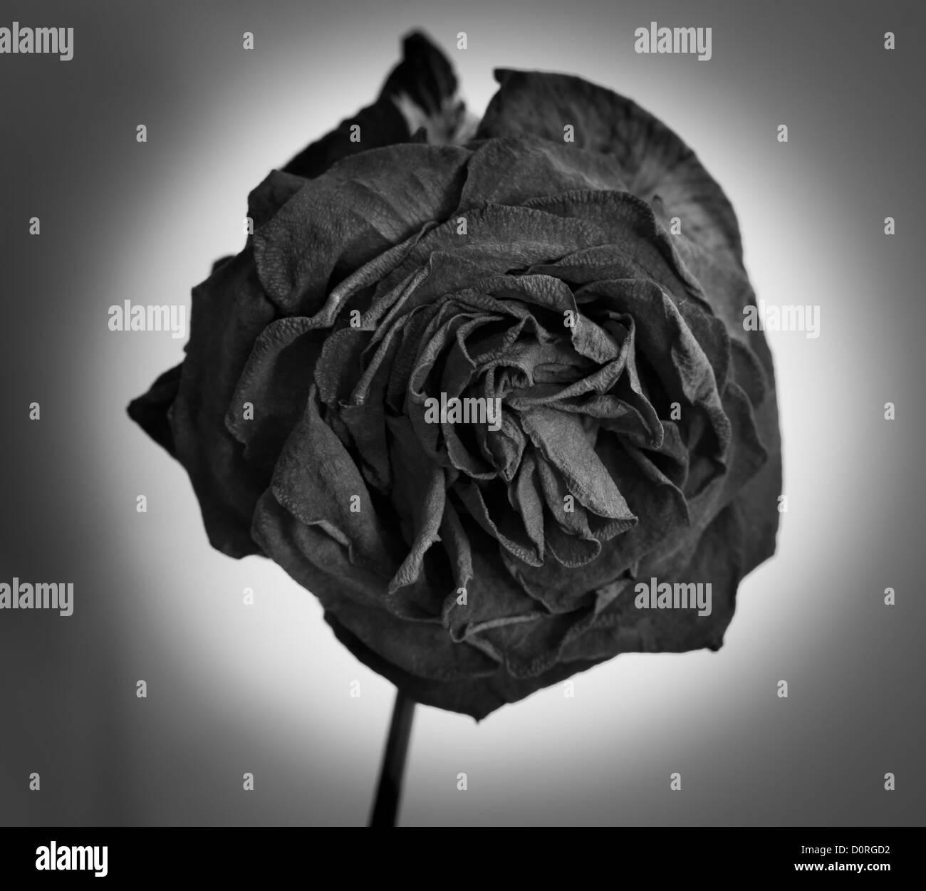 eine tot getrocknete schwarze rose in schwarz wei stockfoto bild 52148910 alamy. Black Bedroom Furniture Sets. Home Design Ideas