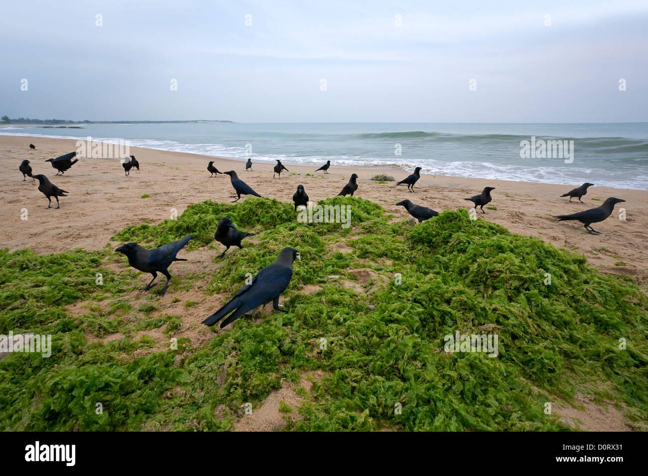 Krähen und Algen. Arugam Bay. Sri Lanka Stockbild