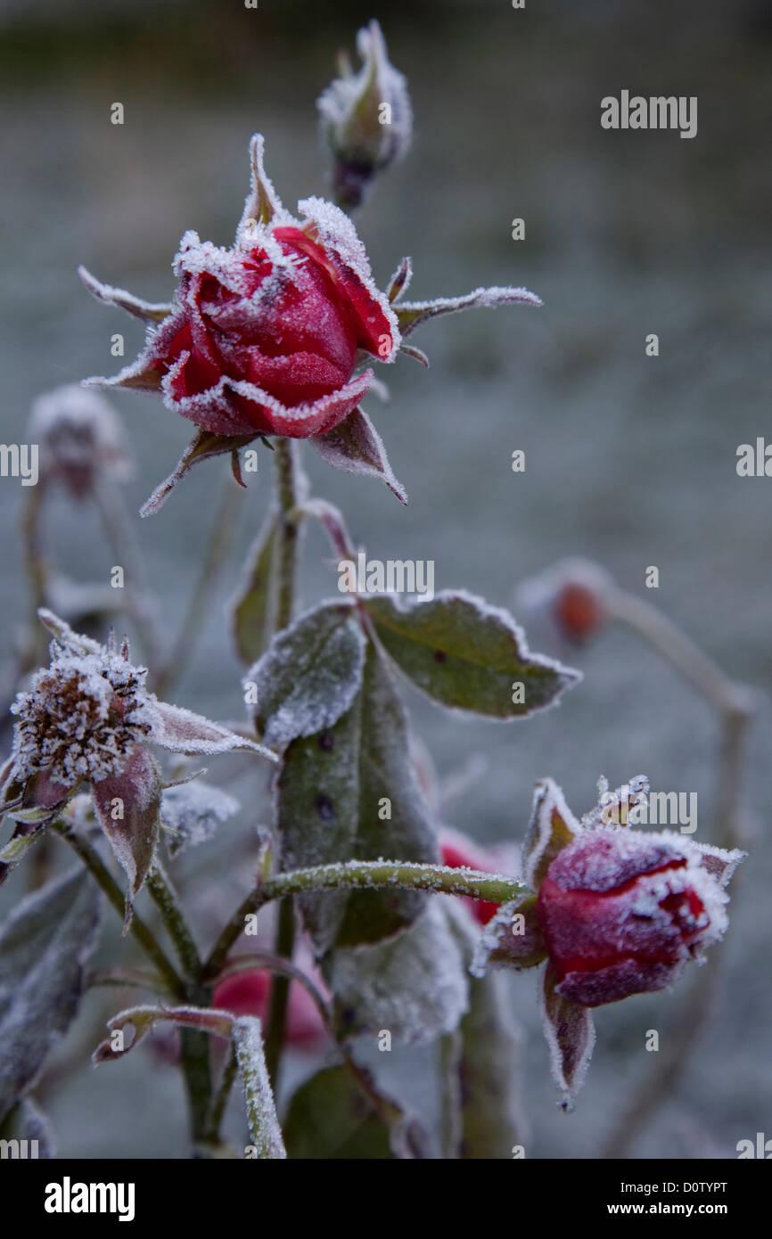 Rose Rosen Fade Raureif Herbst Winter Blumen Blume