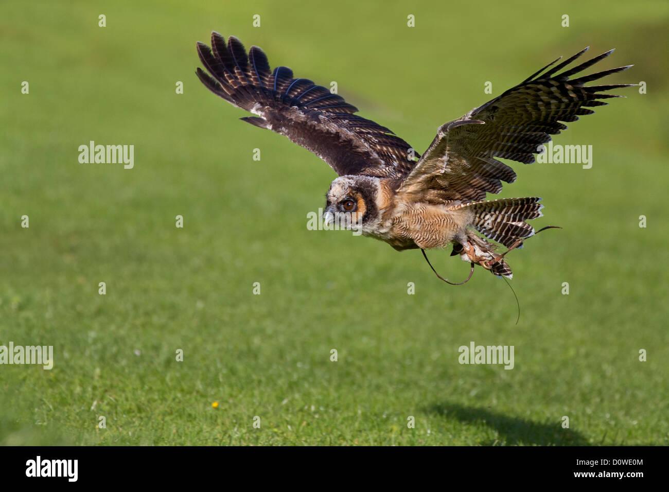 Asiatische braun Holz Eule im Flug Stockfoto