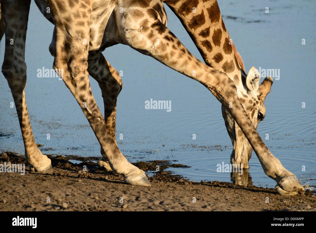 Afrika, Etosha, Nationalpark, Namibia, Afrika, Tier, bücken, trinken, Giraffe, Tiere, Horizontal, Ebenen, Safari, Stockbild