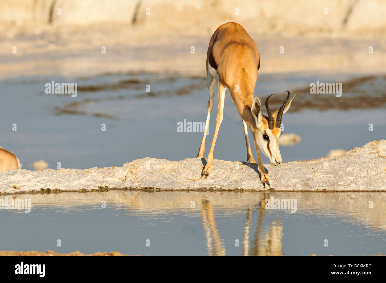 Afrika, Etosha Nationalpark, Namibia, Afrika, Tier, Antilope, Tier, trinken, Horizontal, Ebenen, Reflexion, Safari, Stockbild