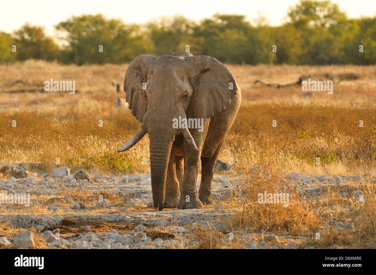 Afrika, Etosha Nationalpark, Namibia, Afrika, Tier, Sonnenuntergang, Elefant, Tier, Horizontal, Landschaft, Ebenen, Stockbild