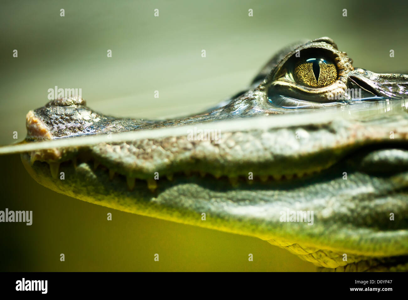Caiman crocodilus Stockfoto