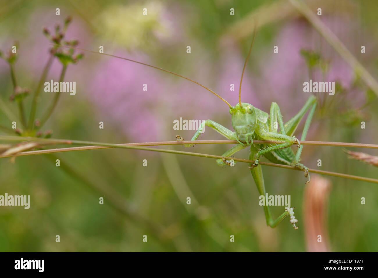 Großen Nymphe große Green Bush Cricket (Tettigonia Viridissima) klettern Vegetation. Auf dem Causse de Stockbild