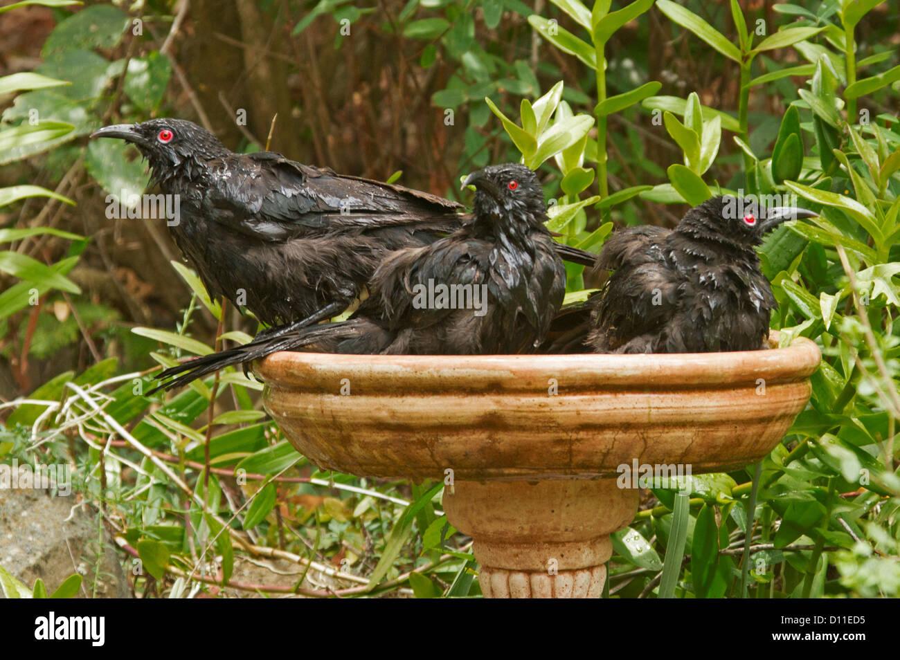 Familie des australischen Currawongs in Terrakotta Vogeltränke im ...