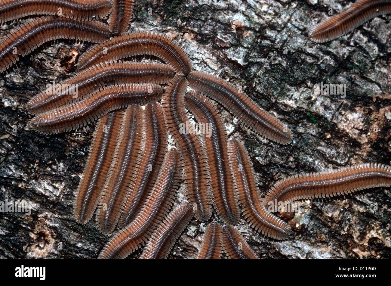 Baumstamm Für Wohnung wohnung-backed tausendfüßler (polydesmidae) montage um auf einem