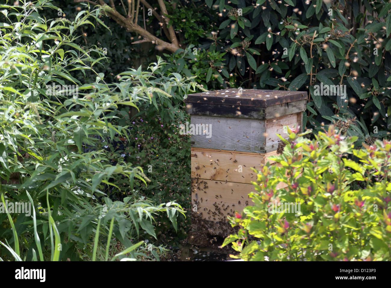 Honig Bienen Schwärmen Aus Bienenstock Im Garten Surrey England