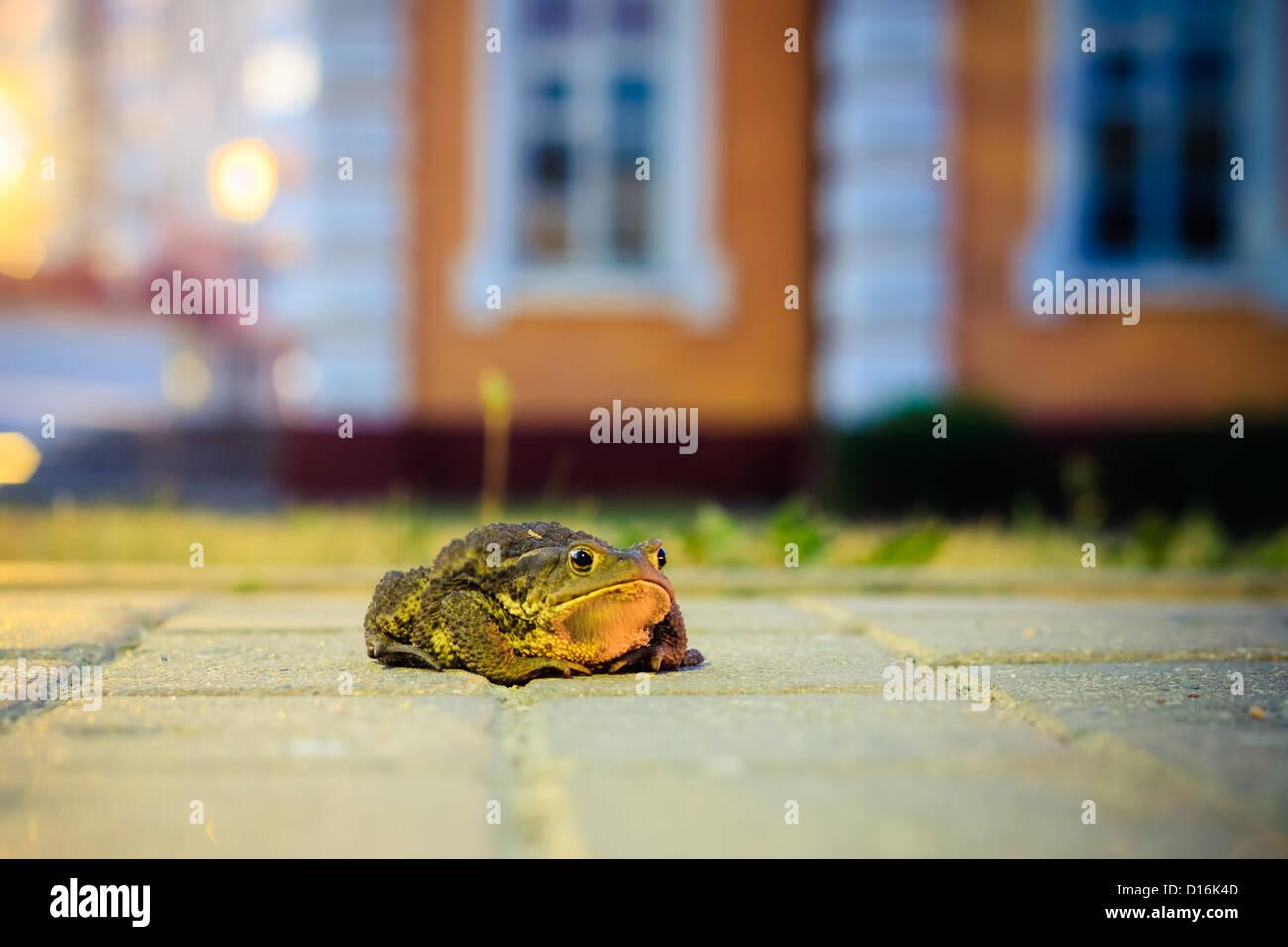 Nahaufnahme der Kröte in Nacht Stockbild