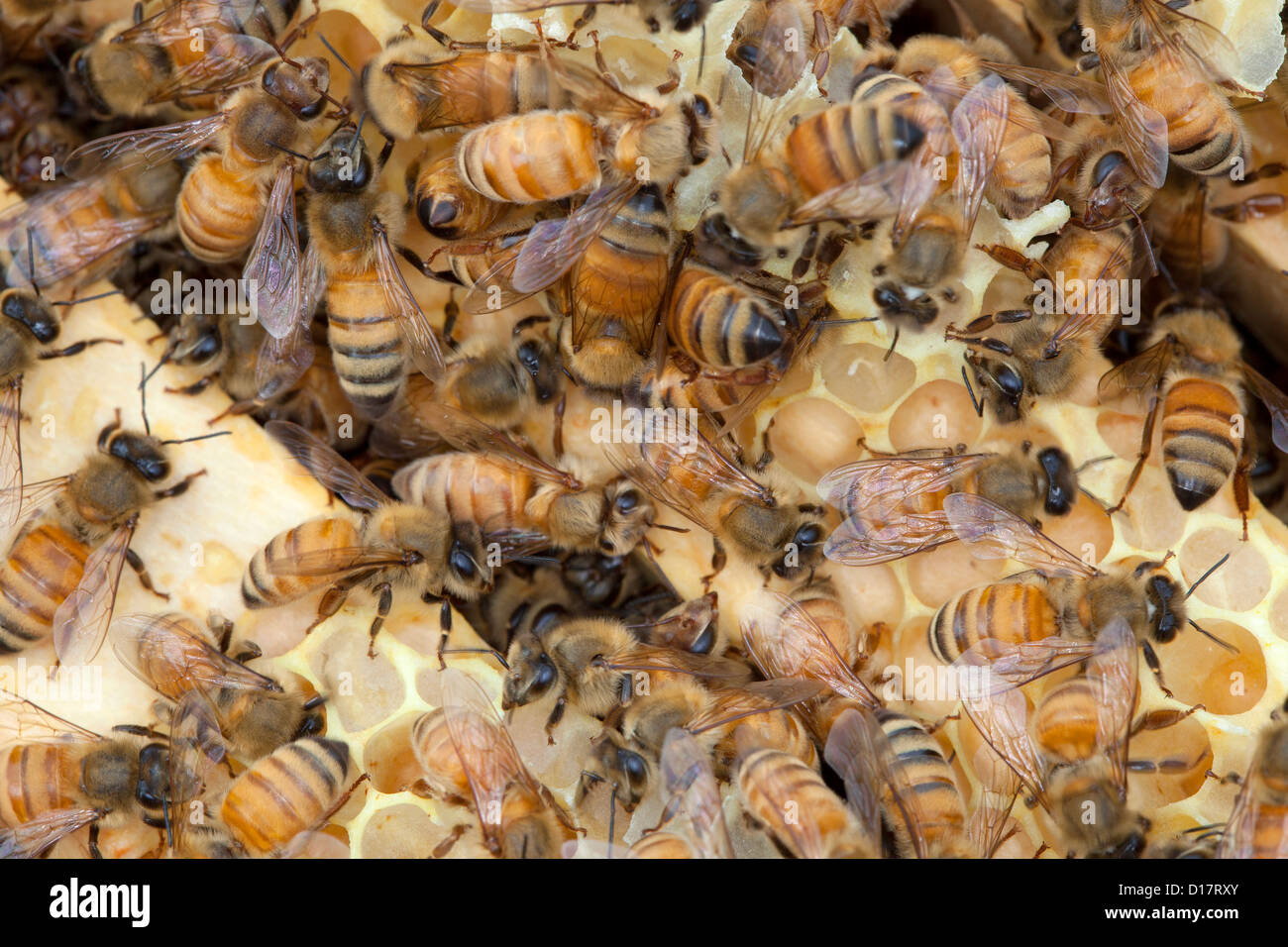 Ein Bienenvolk in einem Bienenstock. Stockbild