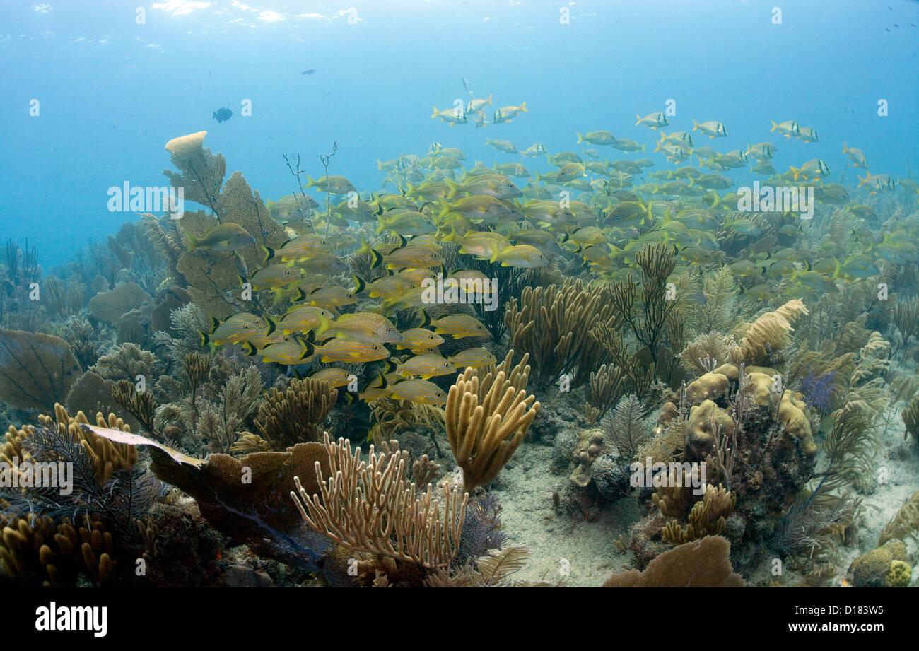 Fischschwärme an einem Korallenriff bei Octopus Höhle in Kuba. Stockbild