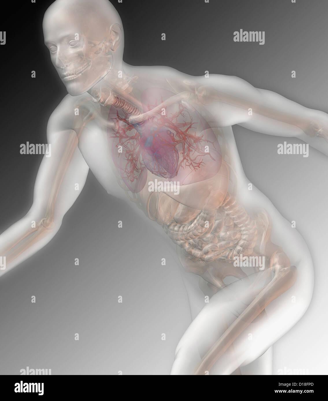 Abbildung eines laufenden männlichen anatomischen Modells Stockbild
