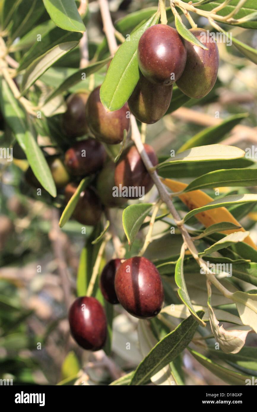 Olive branch Stockbild