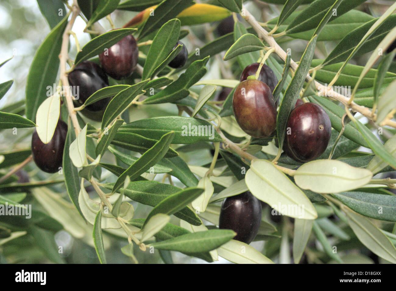 Oliven und Blätter auf einem Ast Stockbild