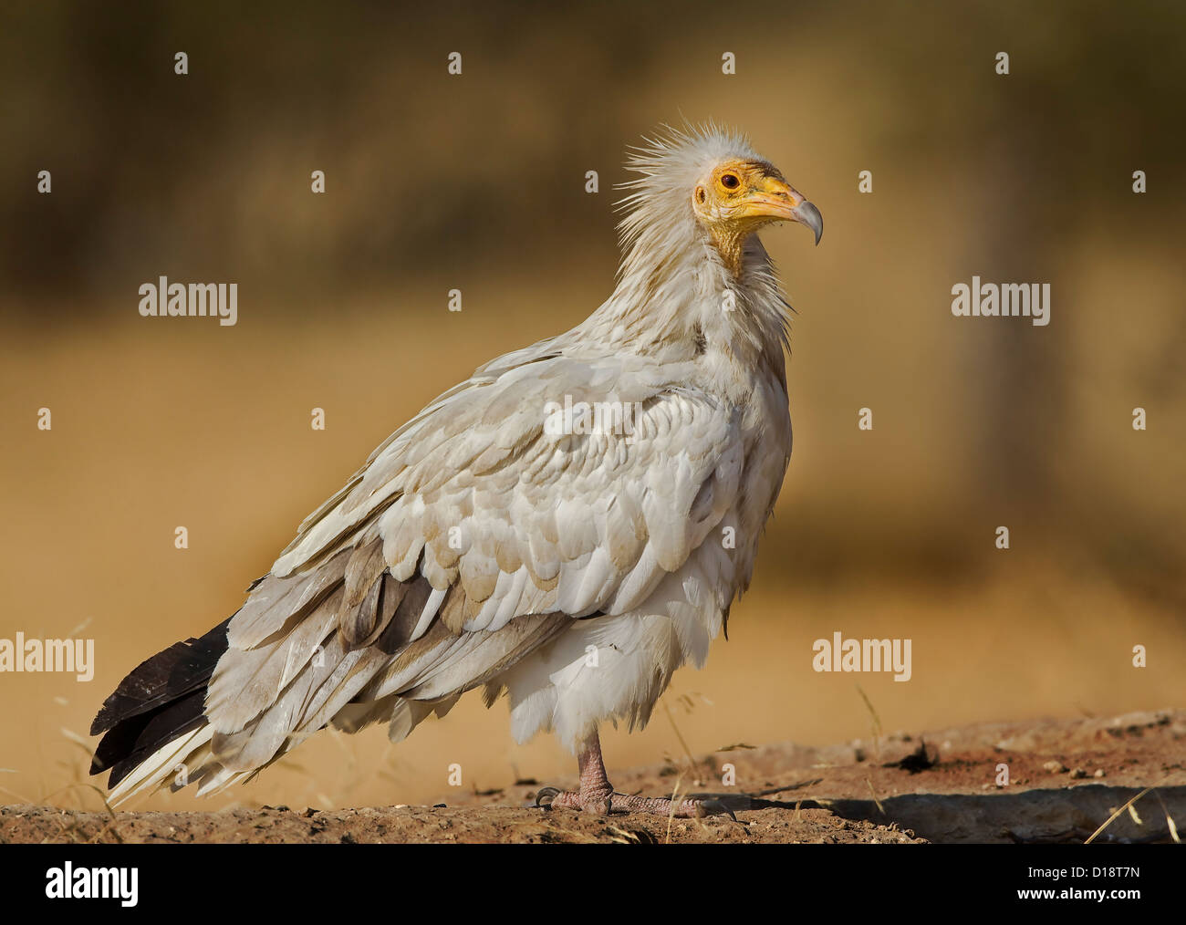 Schmutzgeier (Neophron Percnopterus), auch genannt der weißen Scavenger Geier oder Pharaos Huhn Stockfoto