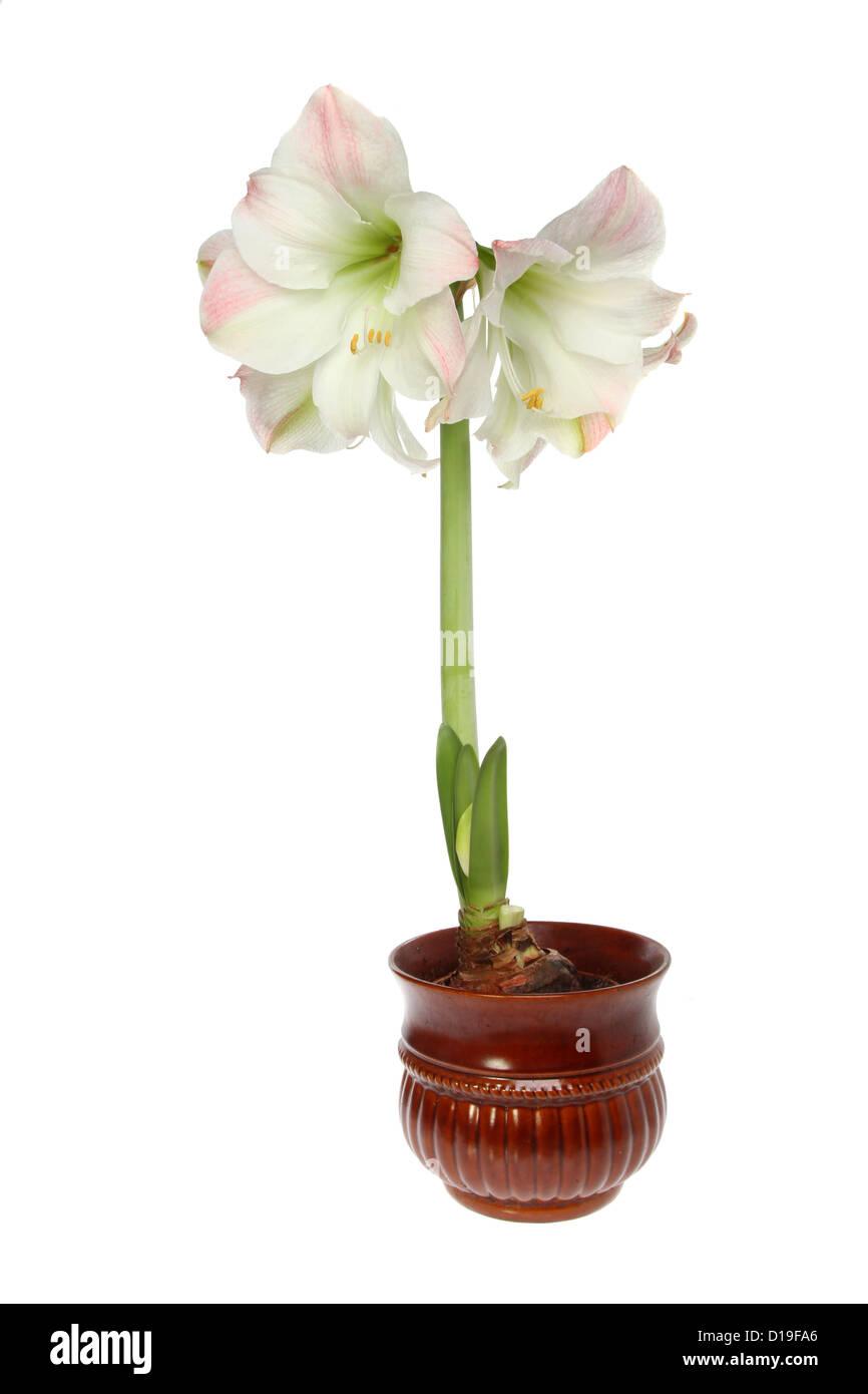 amaryllis pflanzen und blumen in einem topf isoliert gegen wei stockfoto bild 52455374 alamy. Black Bedroom Furniture Sets. Home Design Ideas