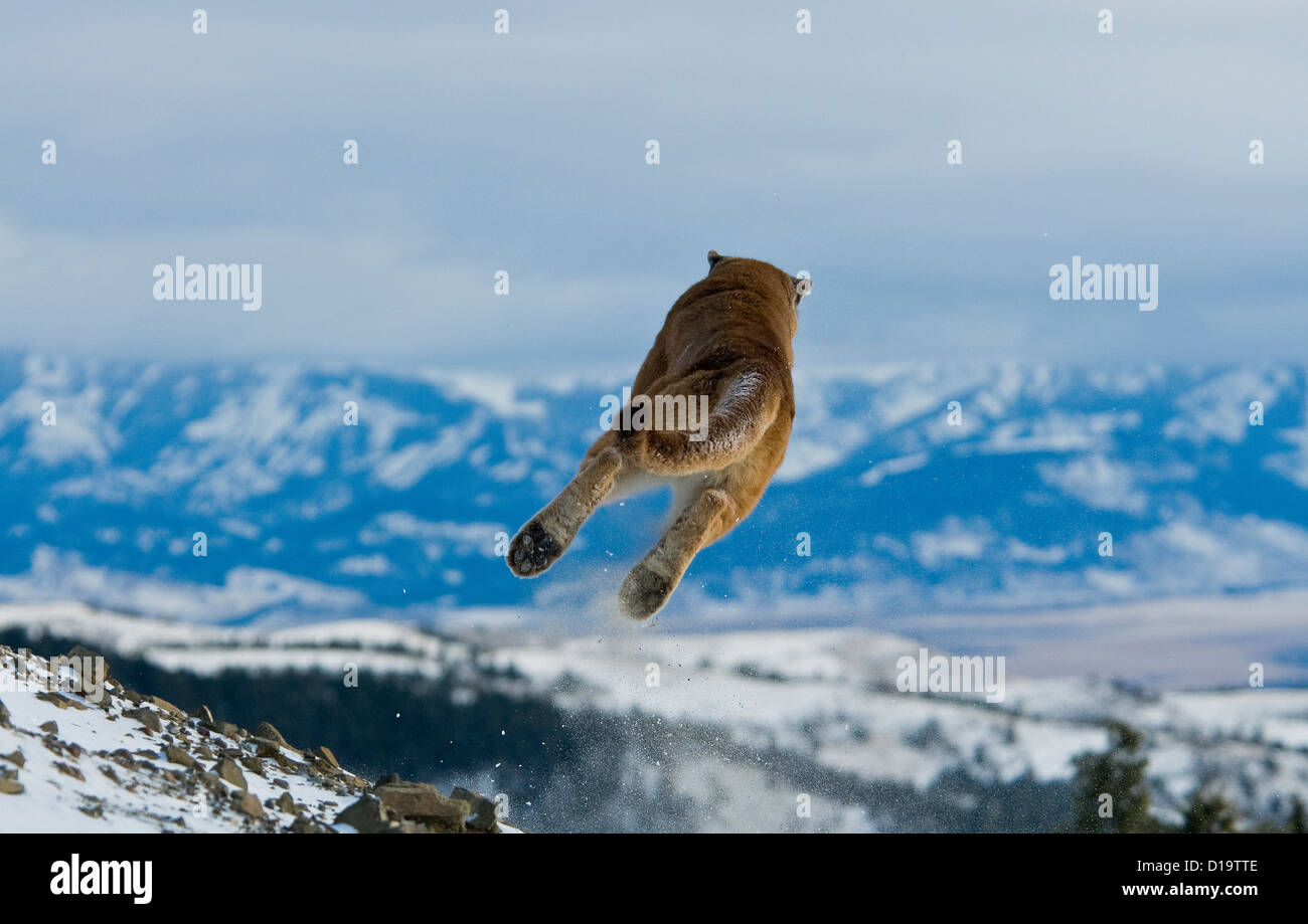 Berglöwen, Montana, Vereinigte Staaten von Amerika Stockfoto