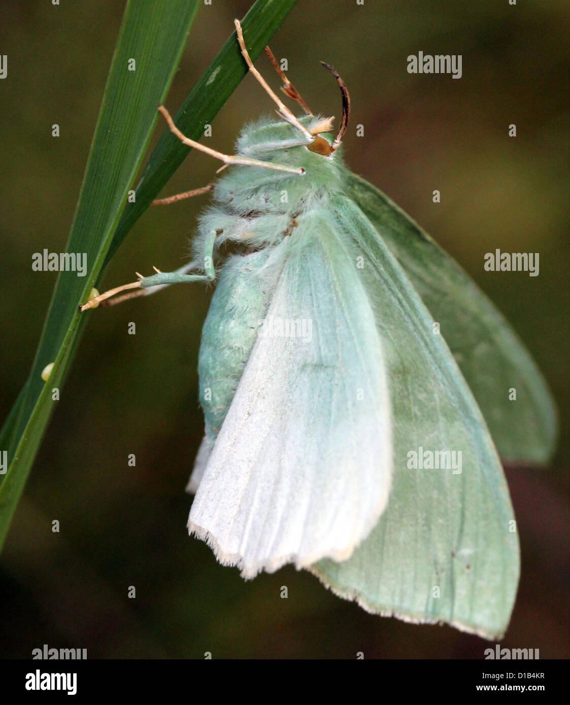 Extrem detaillierte Makro Bild eines großen Smaragd Schmetterlings (Geometra Papilionaria) Eiablage auf einem Stockbild