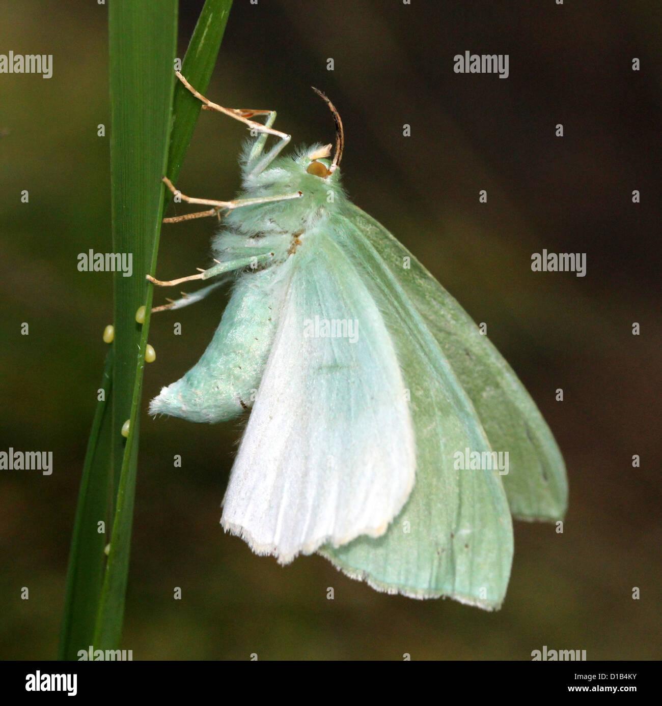 Großer Smaragd Schmetterling (Geometra Papilionaria) Verlegung Eiern auf einem Grashalm Stockbild