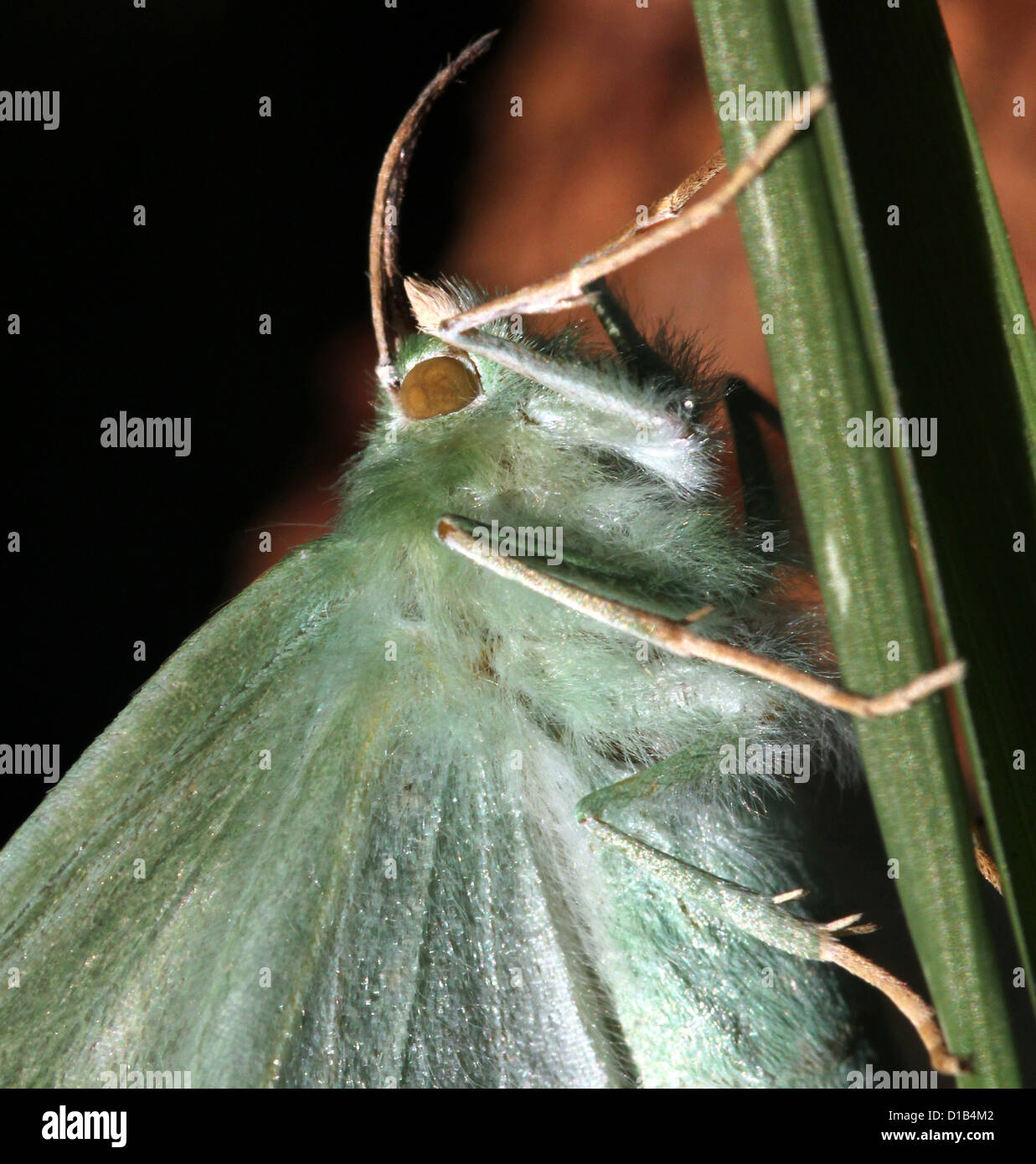 Extrem detaillierte Makro Bild eines großen Smaragd Schmetterlings (Geometra Papilionaria) Stockbild
