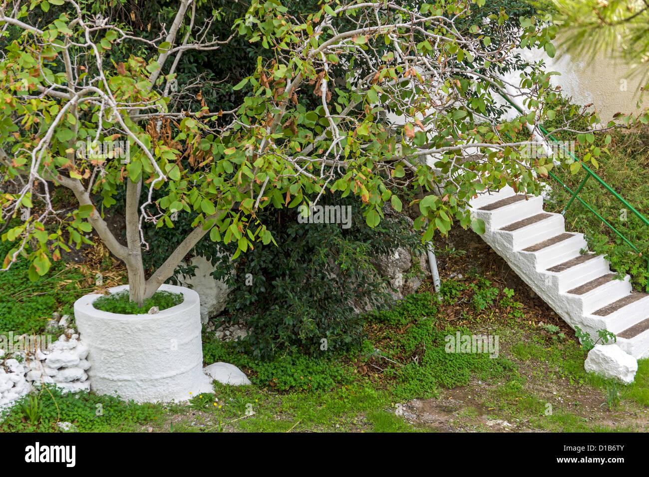 feigenbaum wächst in weißem beton topf mit weiße treppe stockfoto