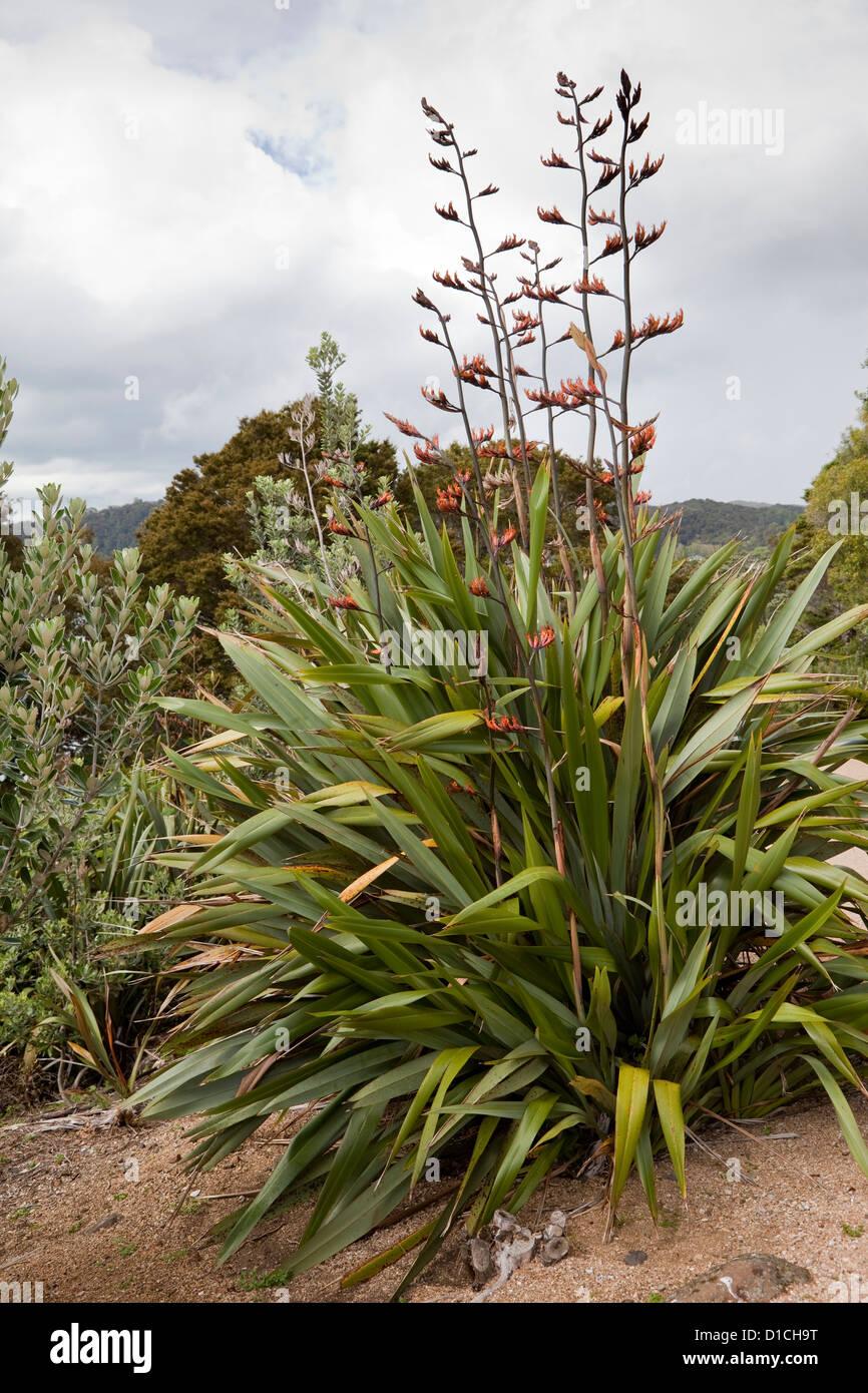Neuseeland-Flachs (Phormium Tenax), Waitangi Treaty Grounds, Paihia, Nordinsel, Neuseeland. Stockfoto
