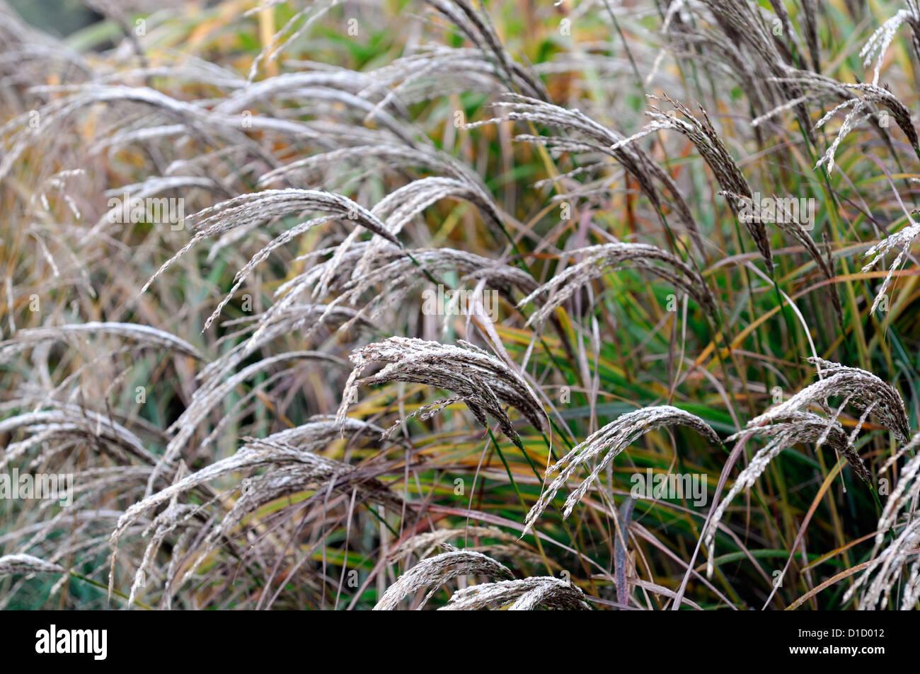Immergrüne Gräser carex buchananii roter hahn braun zier gräser laub blätter