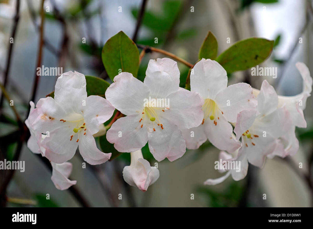 rhododendron gossamer wei e blumen bl ten loranthiflorum x. Black Bedroom Furniture Sets. Home Design Ideas