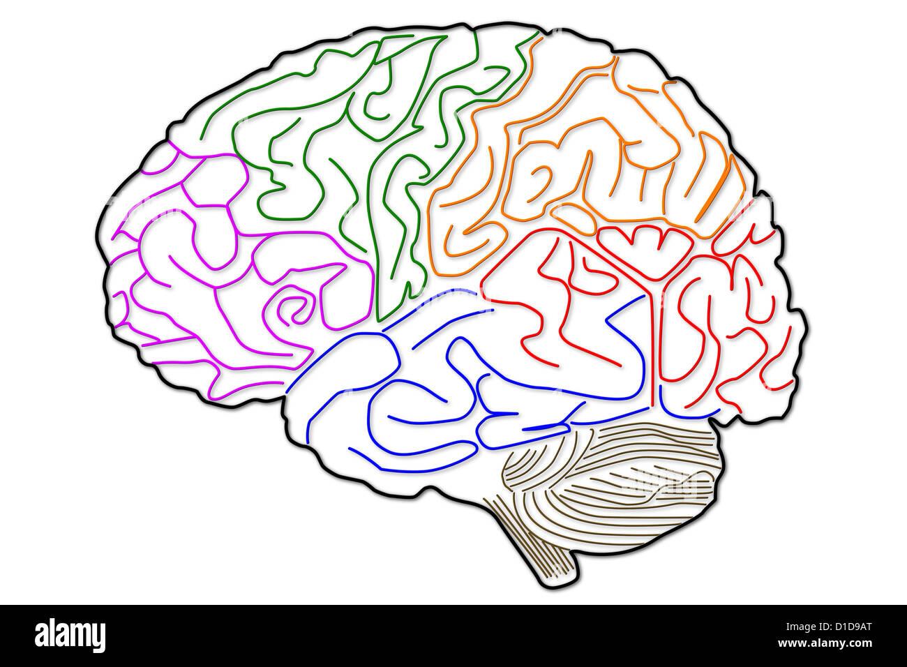 Fantastisch Gehirn Anatomie Malbuch Fotos - Malvorlagen Von Tieren ...