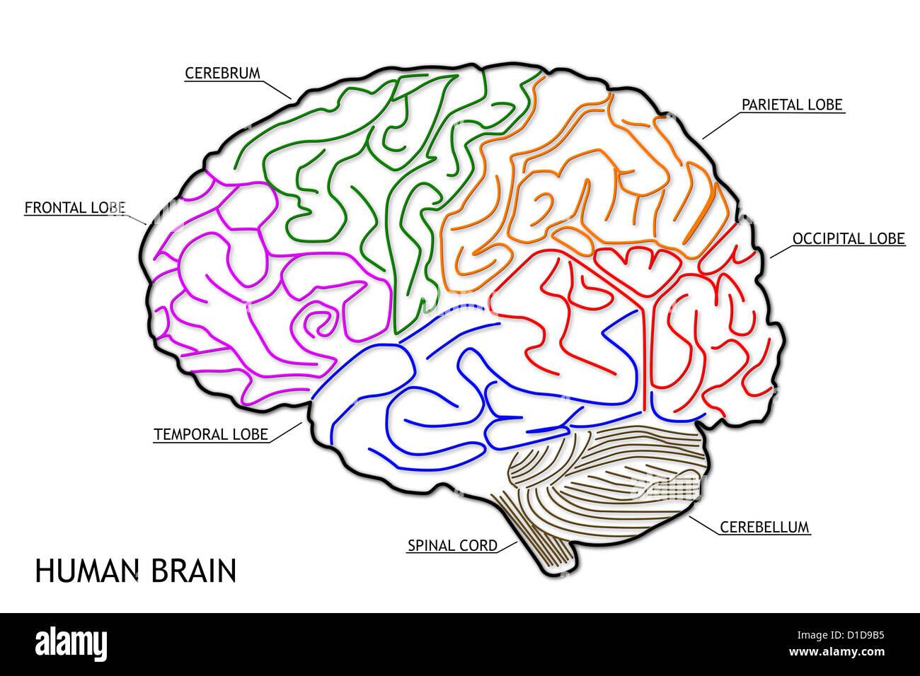 Nett Anatomie Und Physiologie Teile Des Gehirns Galerie ...