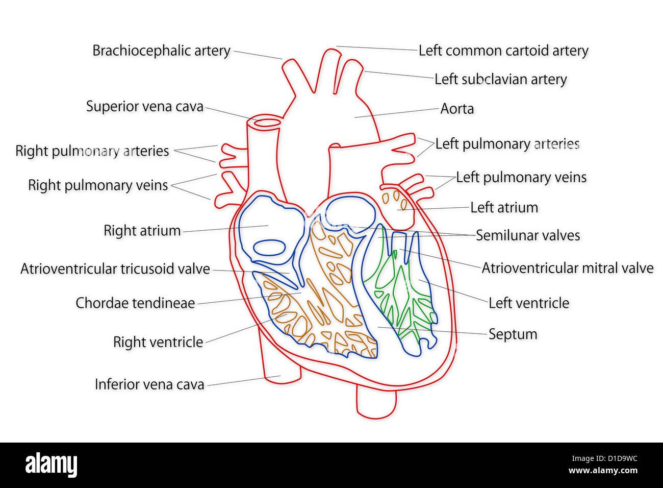 Groß Struktur Des Herzens Diagramm Bilder - Menschliche Anatomie ...