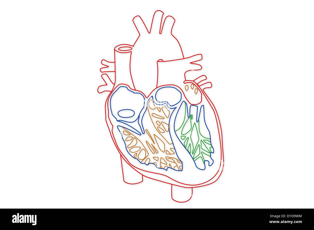 Ziemlich Struktur Des Herzens Diagramm Galerie - Physiologie Von ...