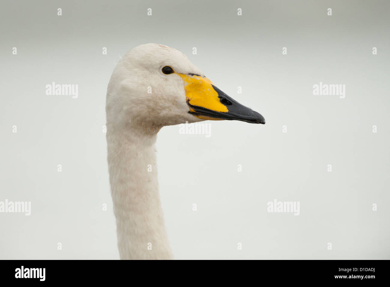 Ein Singschwan, fotografiert auf dem Fluß Doon, Schottland. Stockbild