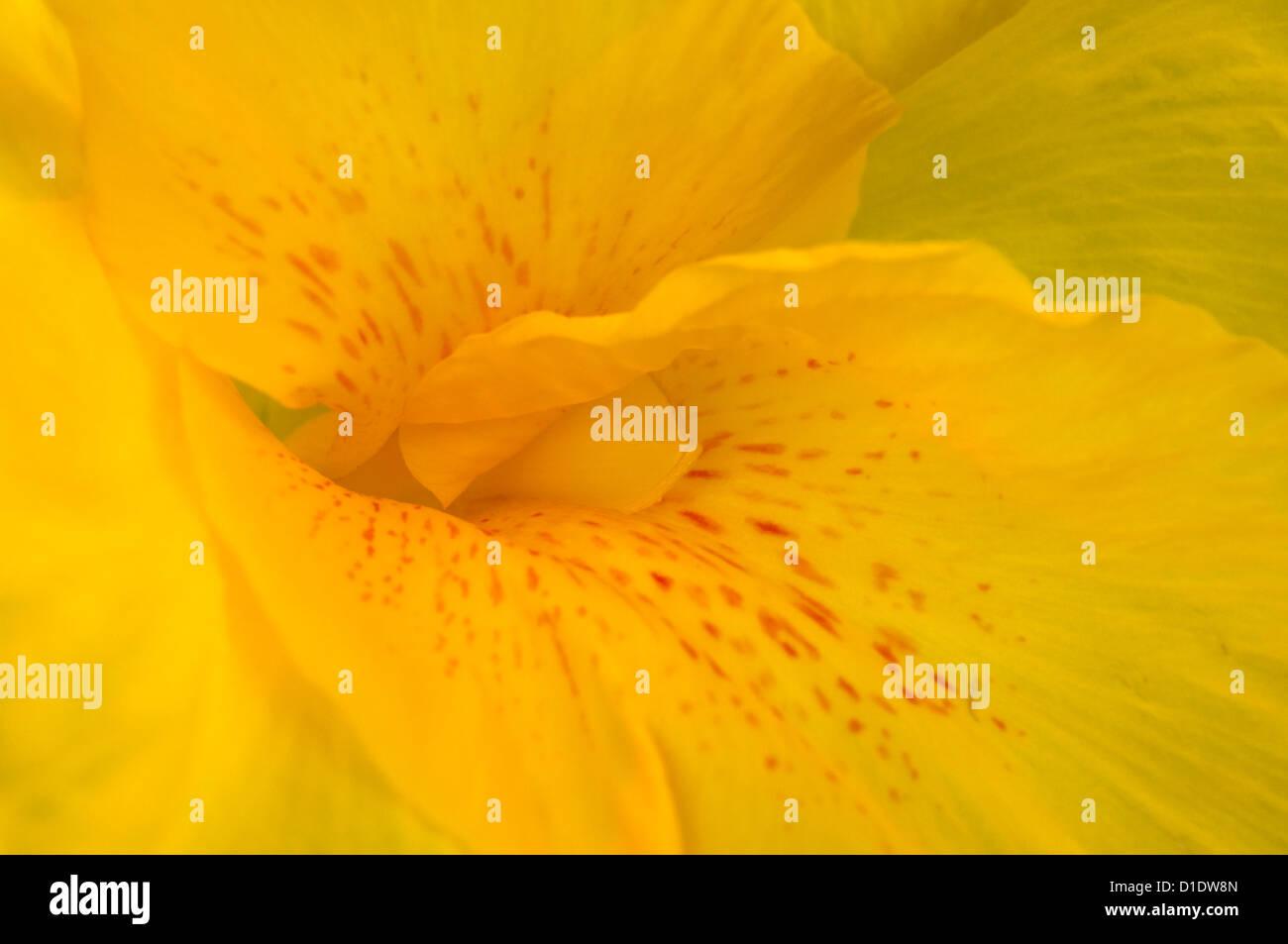 Nahaufnahme einer gelben Lilie (Detail) Stockbild