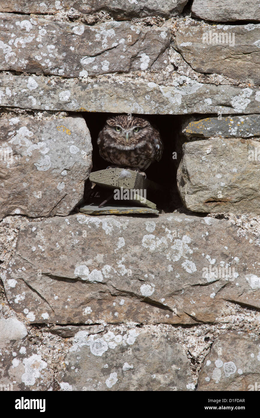 Steinkauz (Athene Noctua) in Gefangenschaft, Vereinigtes Königreich, Europa Stockbild