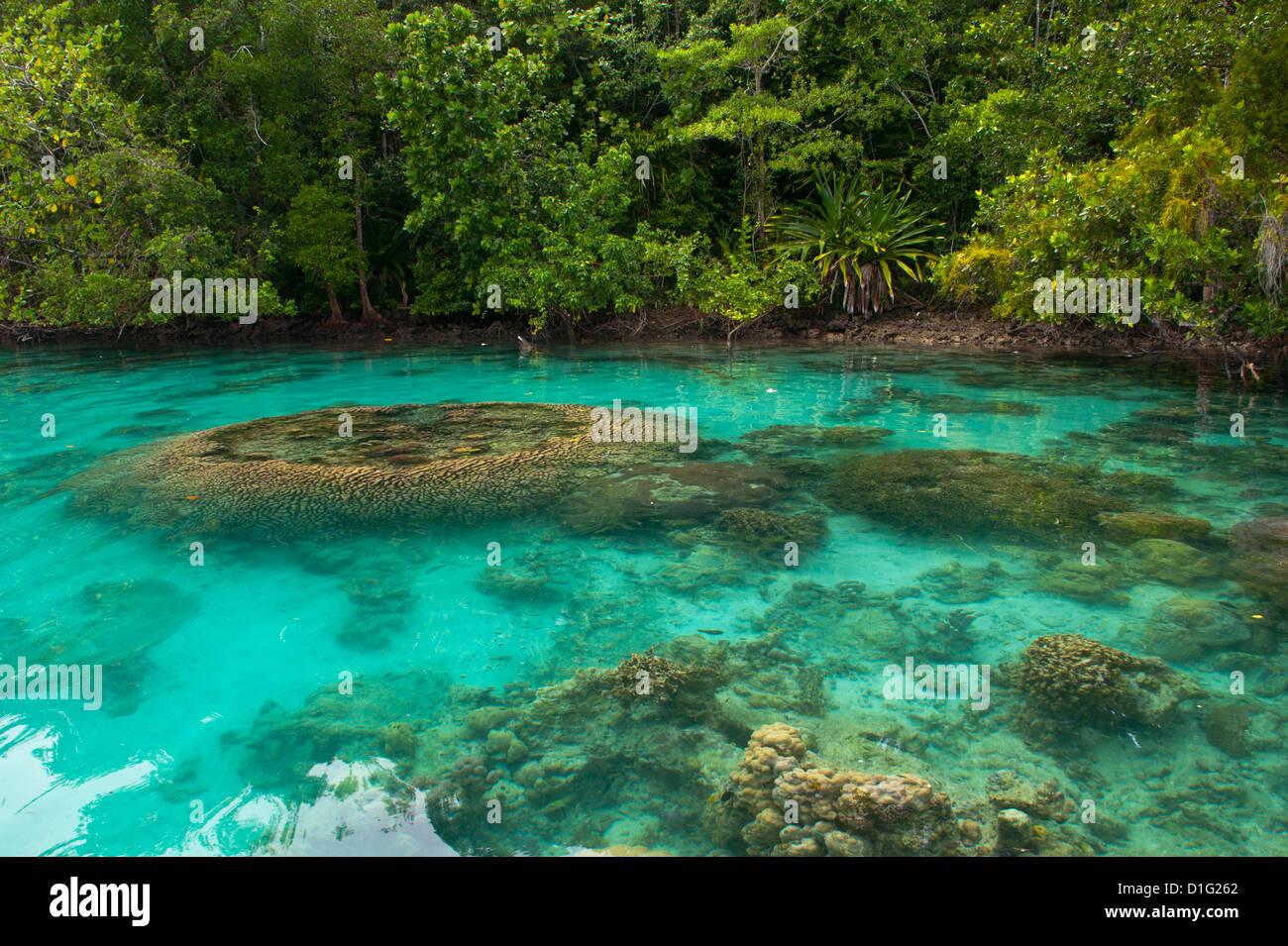Riesenmuscheln in den klaren Gewässern des Marovo Lagune, Salomonen, Pazifik Stockbild