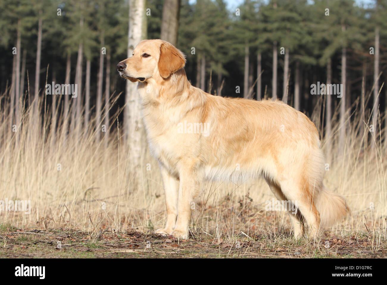Hund Hovawart blond Erwachsenen stehen natürliche Standard Profil Stockbild