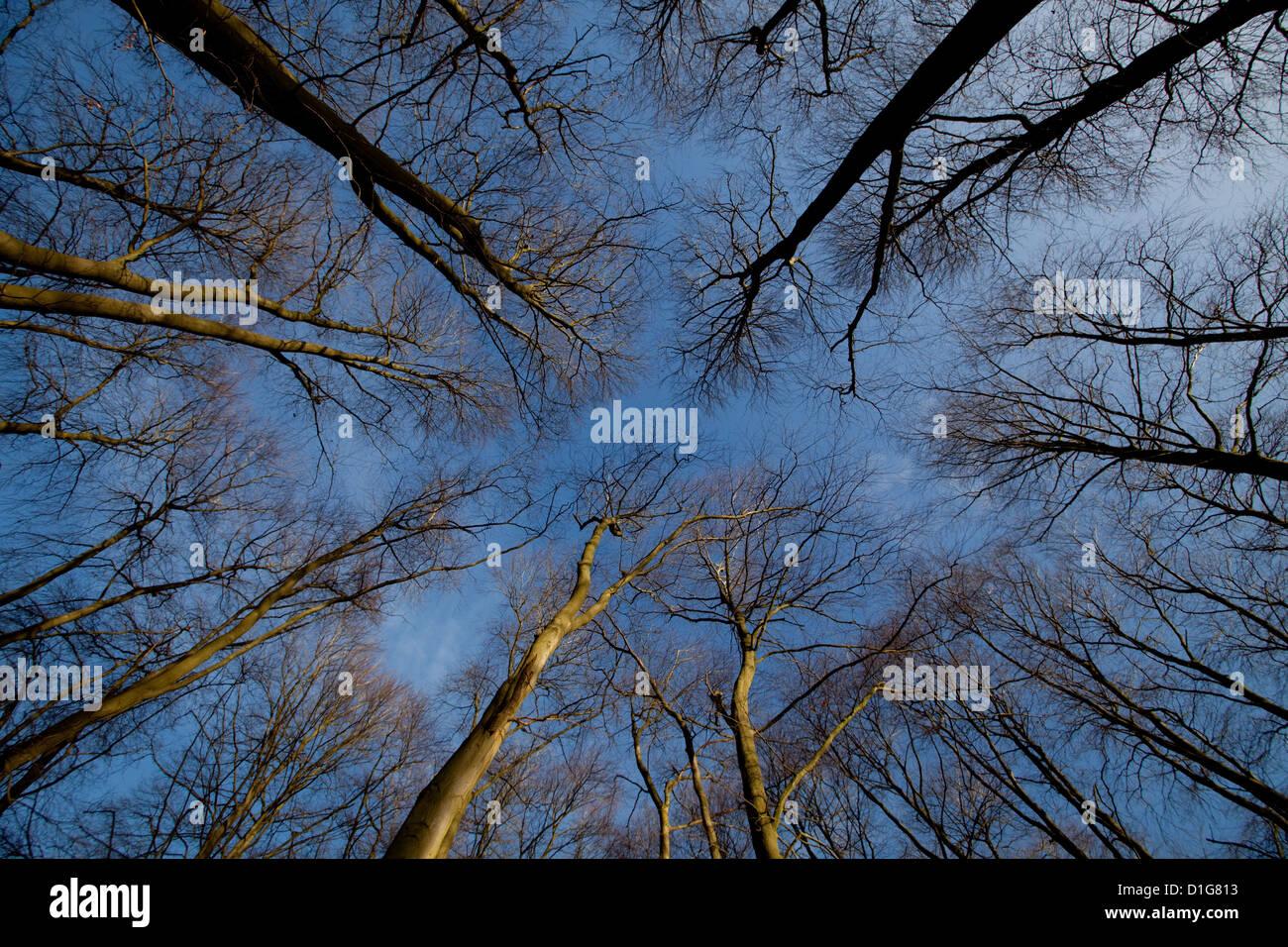 Gestaltung der blauen Winterhimmel Baumkronen Stockbild