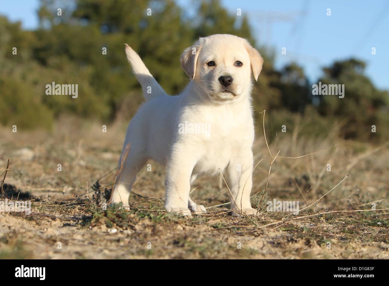 Gelbe Labrador Retriever Welpen Stockfotos Gelbe Labrador