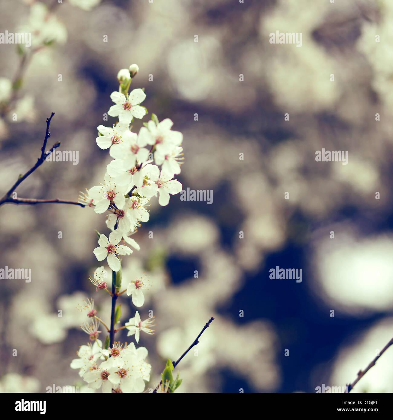 Eine Nahaufnahme von weißen Kirschblüten in voller Blüte im Frühjahr Stockbild