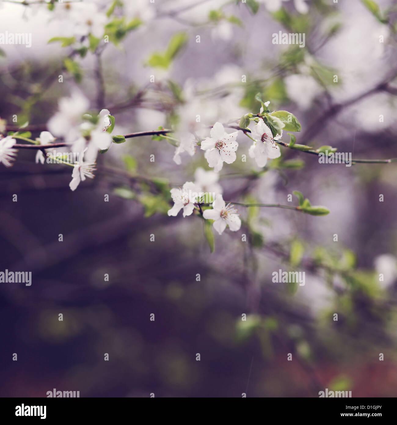 Nahaufnahme von Kirschblüten in voller Blüte Stockbild