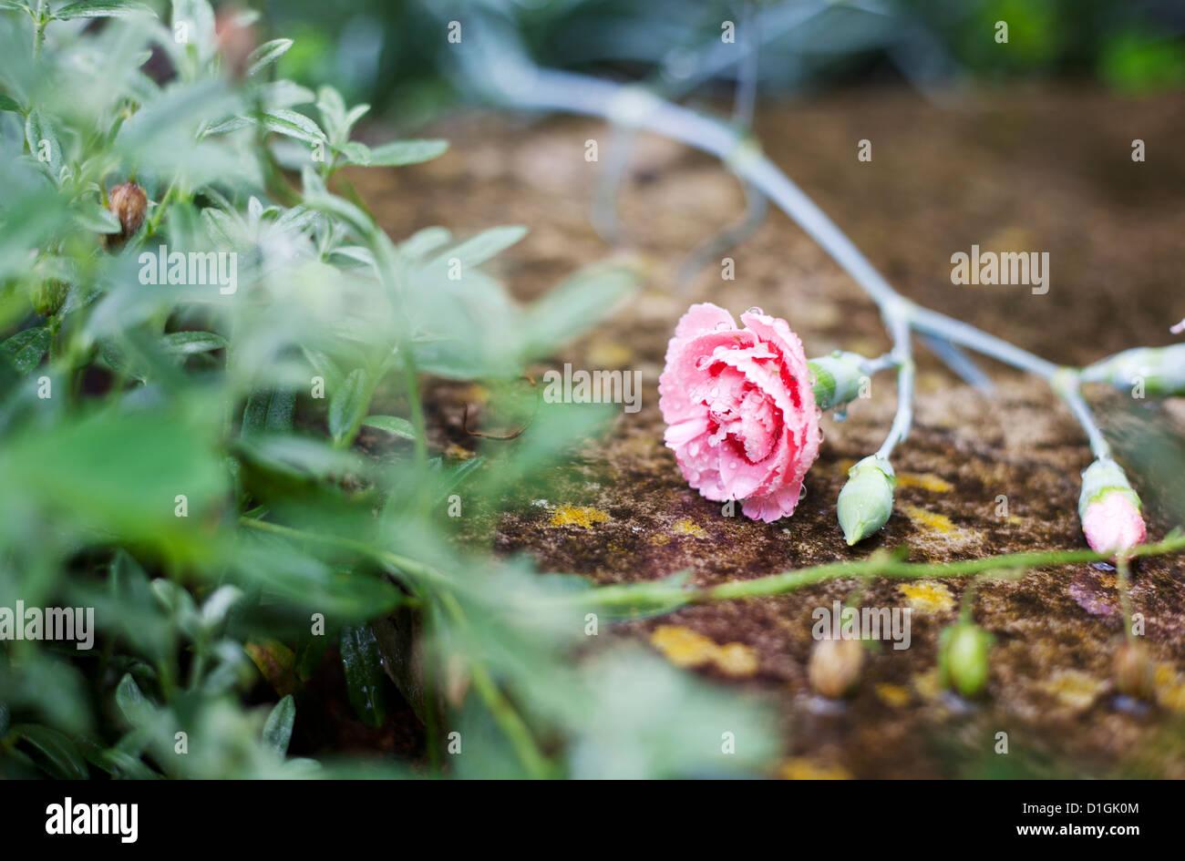 Eine leuchtende rosa stieg im Regen gefallen. Stockbild