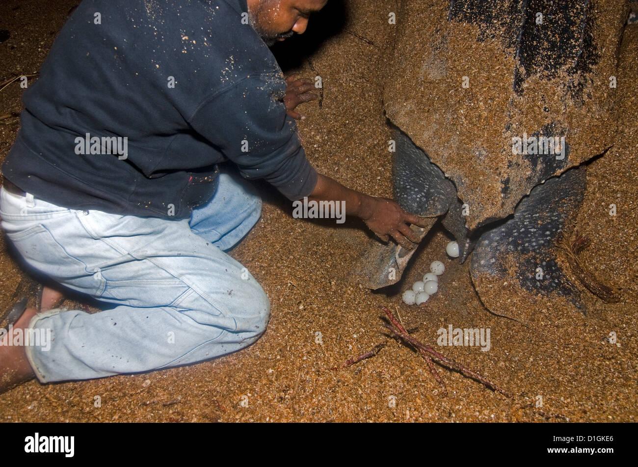 Lederschildkröte (Dermochelys Coriacea), die Eier unter den wachsamen Augen eines Arbeitnehmers, Erhaltung, Stockbild