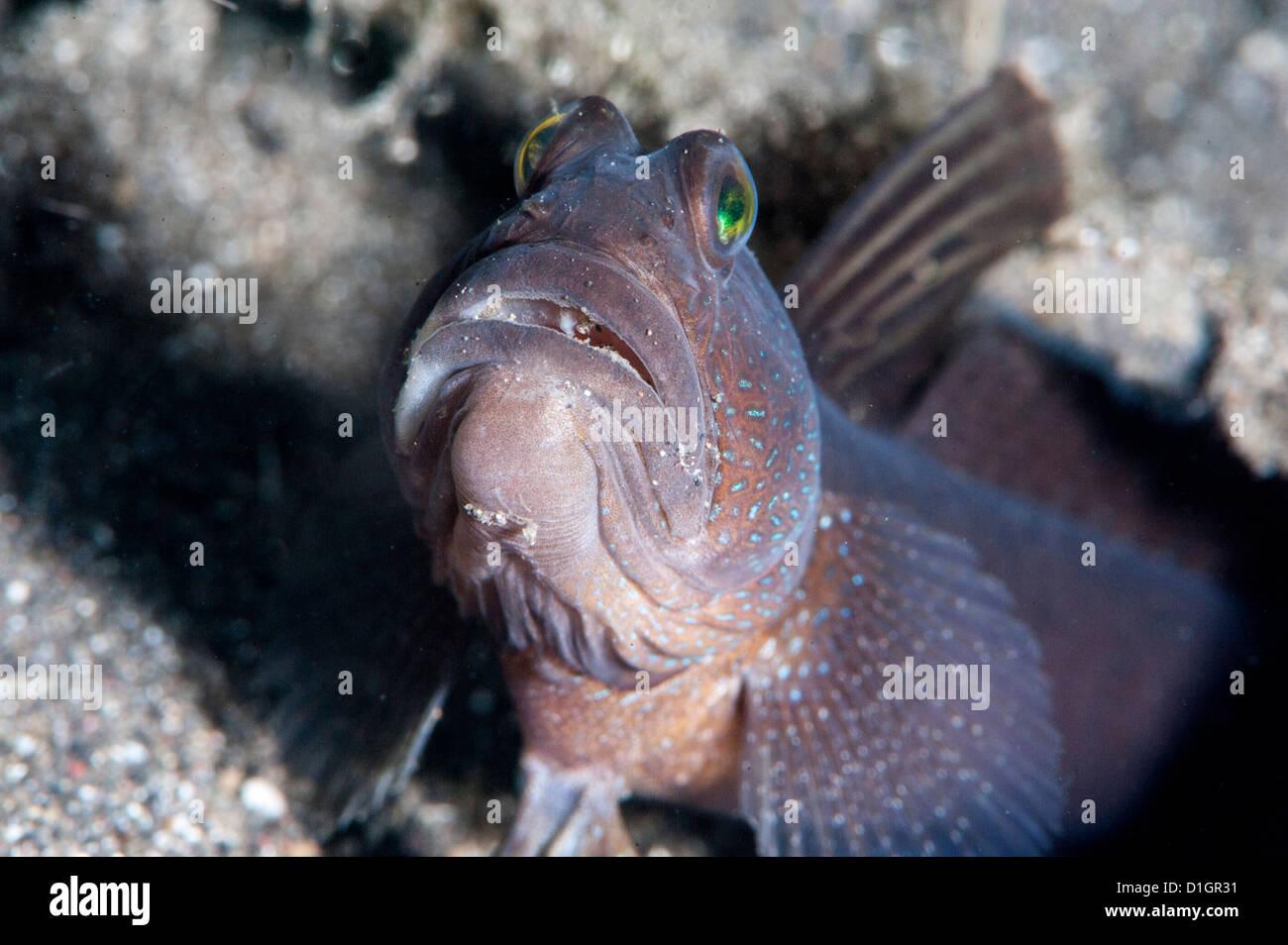 Herrliche Garnelen Grundel (Flabelligobius SP.), Sulawesi, Indonesien, Südostasien, Asien Stockbild