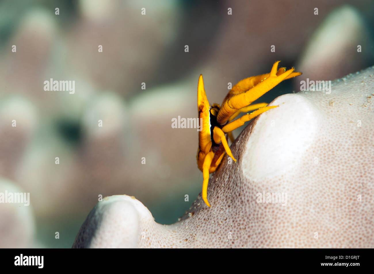 Elegante hocken Hummer (Allogalathea Elegans), Sulawesi, Indonesien, Südostasien, Asien Stockbild