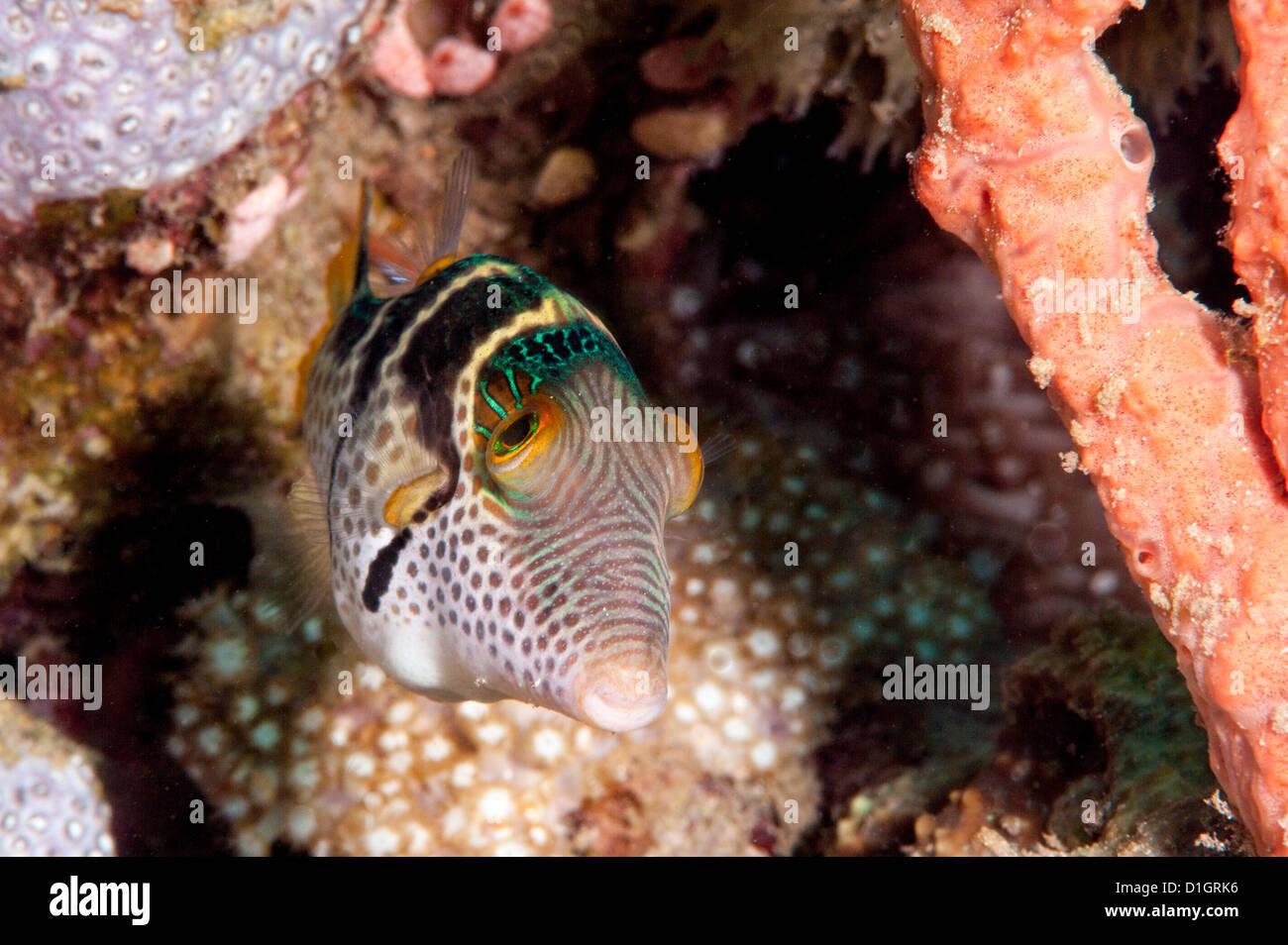 Mimischen Feilenfisch (Paraluteres Prionurus) Minics schwarz gesattelt Toby, Sulawesi, Indonesien, Südostasien, Stockbild