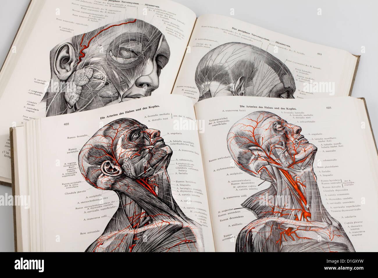Holzschnitte in ein medizinisches Lehrbuch, Illustration der Nerven ...