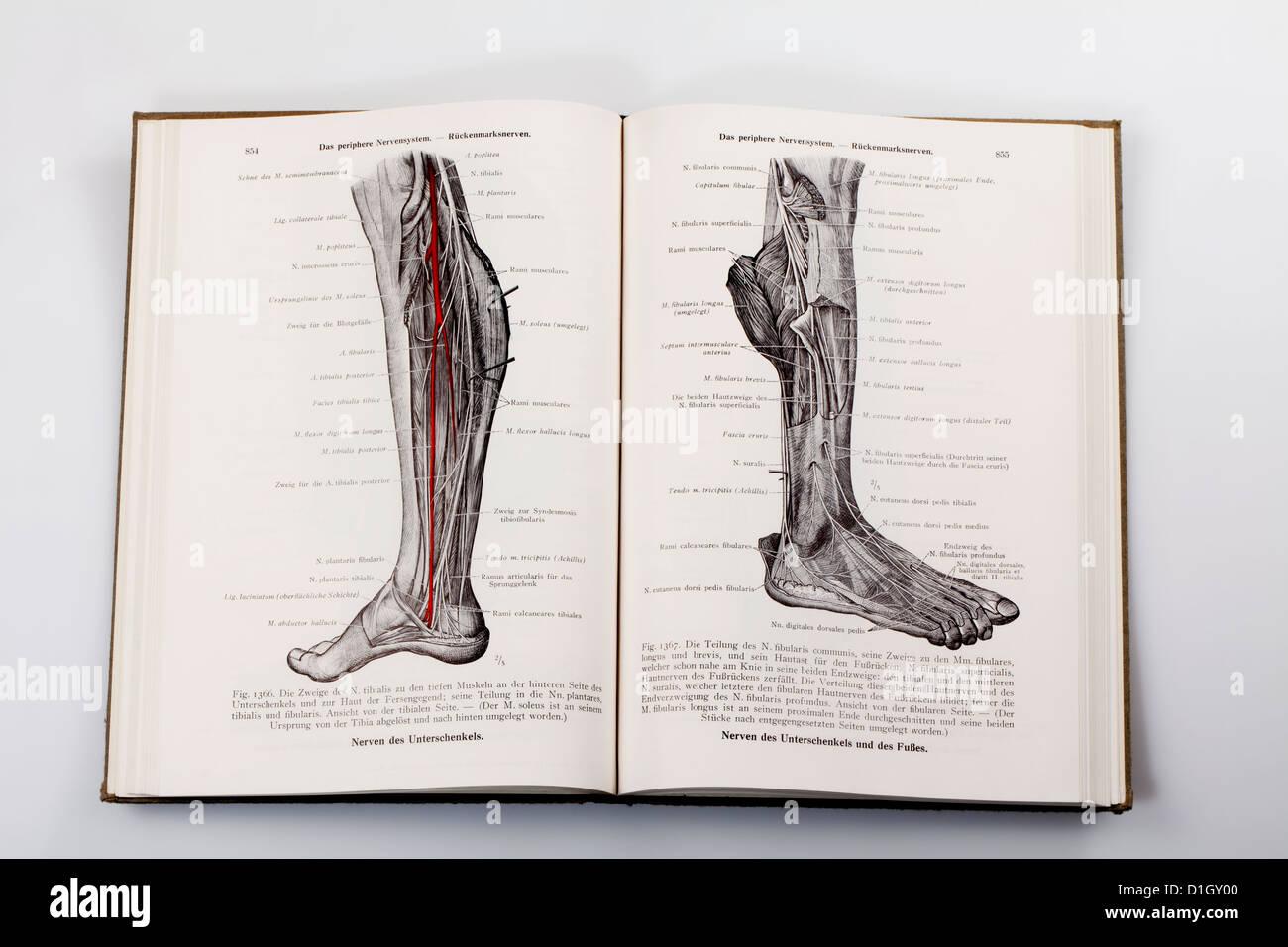 Ziemlich Nerven Bein Ideen - Menschliche Anatomie Bilder ...