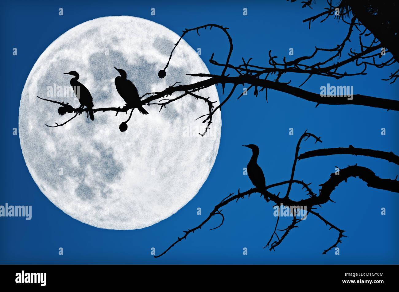 Drei Kormorane sind in einem Baum sitzen. Sie sind durch eine große, schöne, Vollmond Silhouette. Stockbild